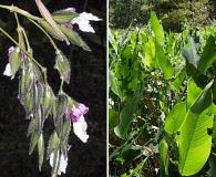 Thalia geniculata