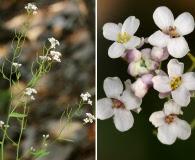 Thelypodiopsis vaseyi