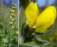 Thermopsis californica