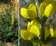 Thermopsis macrophylla