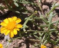 Thymophylla aurea