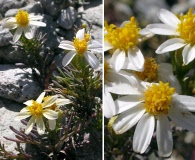 Thymophylla concinna