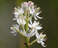 Triantha glutinosa