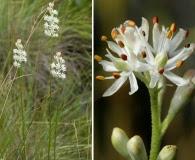 Triantha racemosa