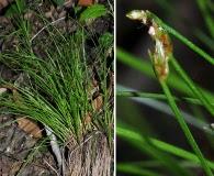 Trichophorum planifolium