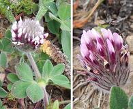 Trifolium amoenum