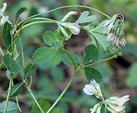 Trifolium breweri