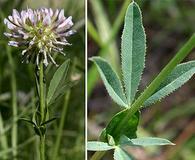 Trifolium douglasii