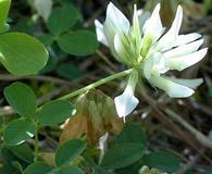 Trifolium latifolium