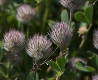 Trifolium olivaceum
