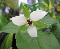 Trillium flexipes