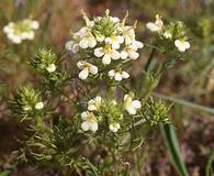 Triphysaria floribunda