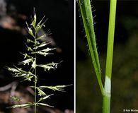 Trisetum canescens