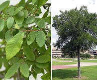 Ulmus crassifolia