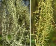 Usnea angulata