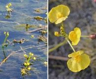 Utricularia floridana