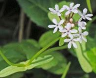 Valerianella longiflora
