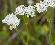 Valerianella umbilicata