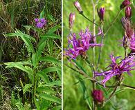 Vernonia angustifolia