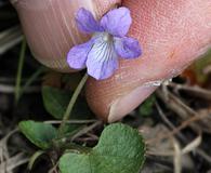 Viola adunca