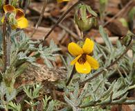 Viola douglasii