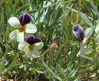 Viola hallii