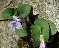 Viola hirsutula