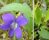Viola sagittata