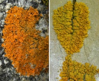 Xanthoria sorediata