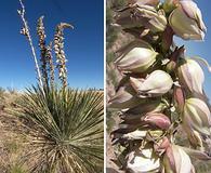 Yucca angustissima