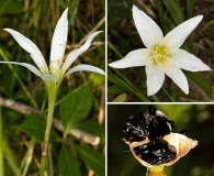 Zephyranthes treatiae